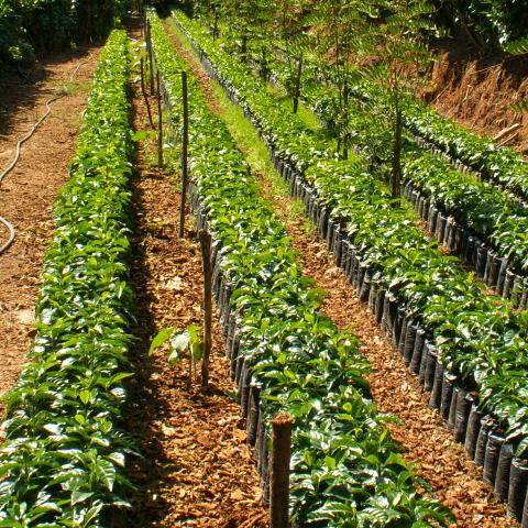 Kaffeeplantage_480x480px
